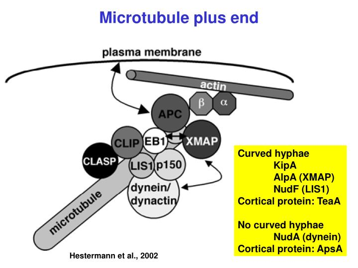 Microtubule plus end