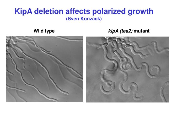 KipA deletion affects polarized growth