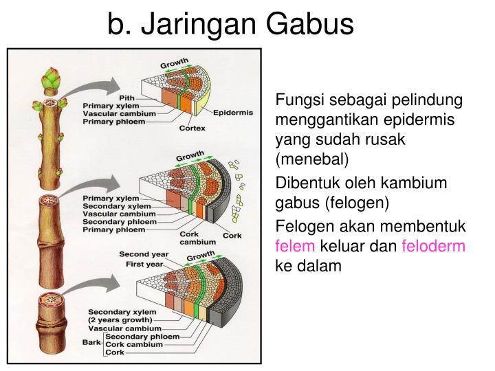 b. Jaringan Gabus