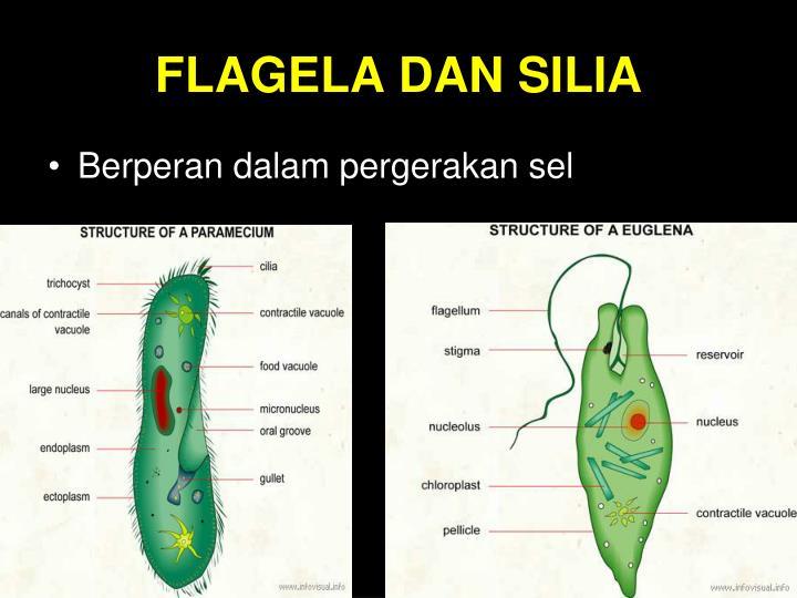 FLAGELA DAN SILIA