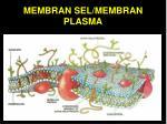membran sel membran plasma