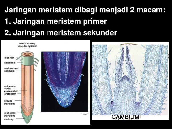 Jaringan meristem dibagi menjadi 2 macam: