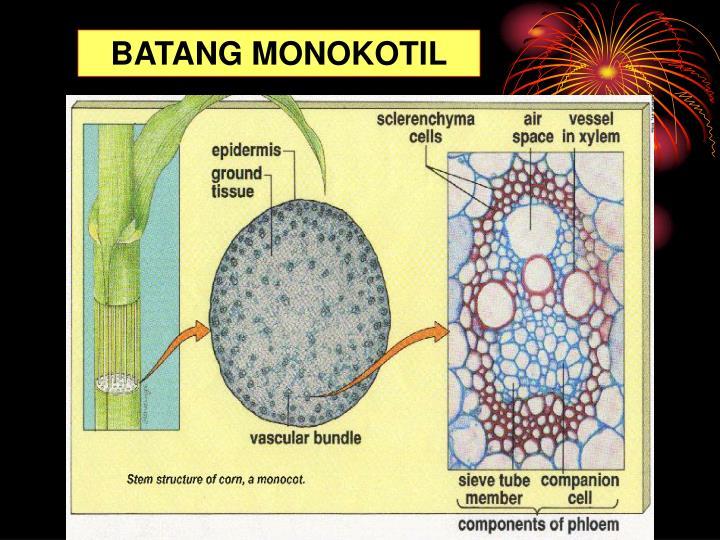BATANG MONOKOTIL
