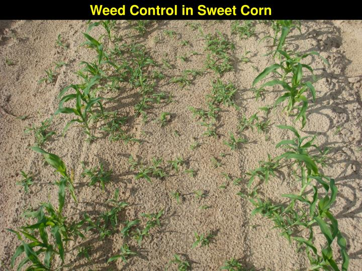 Weed Control in Sweet Corn