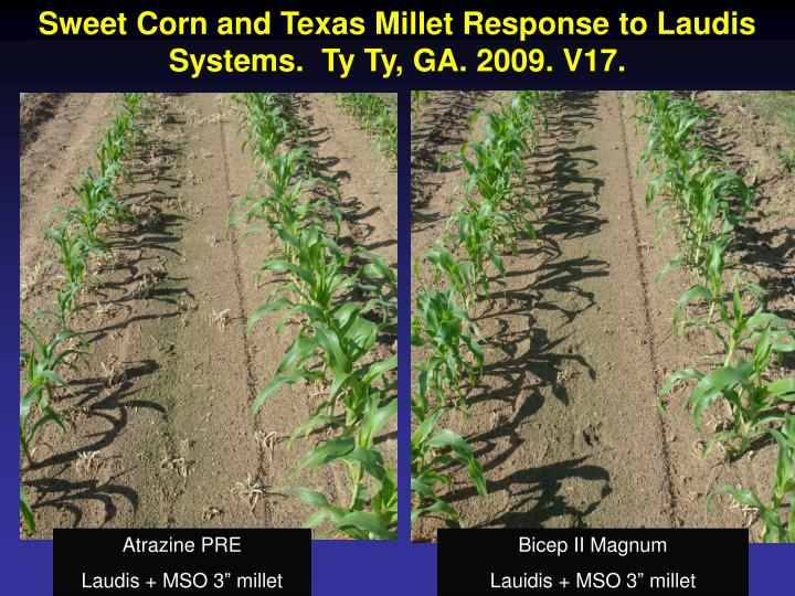 Sweet Corn and Texas Millet Response to Laudis Systems.  Ty Ty, GA. 2009. V17.