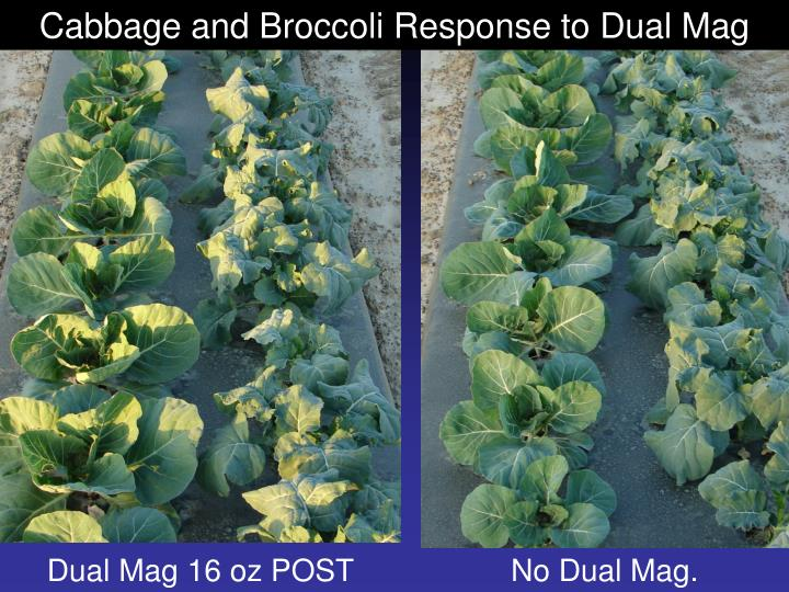 Cabbage and Broccoli Response to Dual Mag