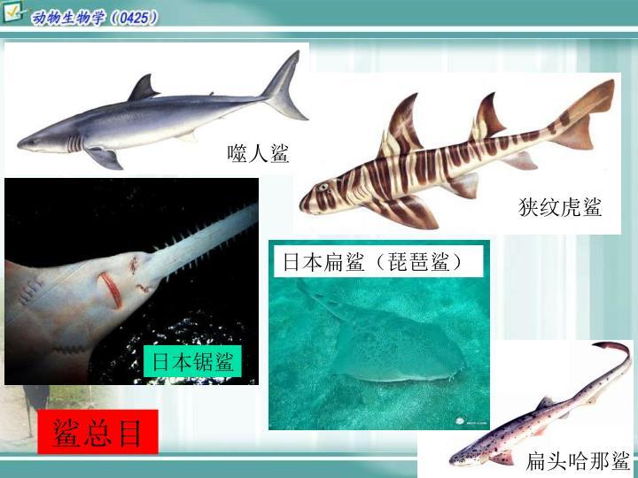 日本扁鲨(琵琶鲨)