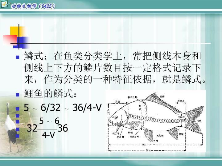 鳞式:在鱼类分类学上,常把侧线本身和侧线上下方的鳞片数目按一定格式记录下来,作为分类的一种特征依据,就是鳞式。