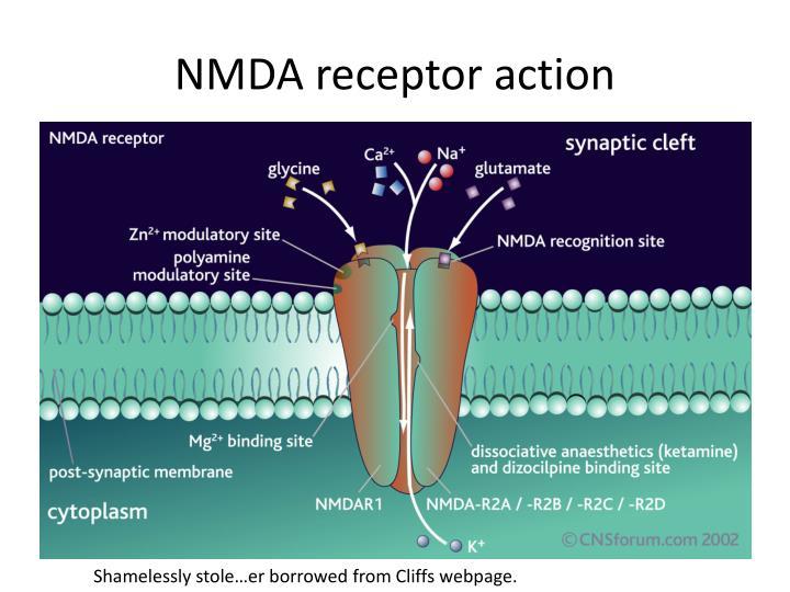 NMDA receptor action