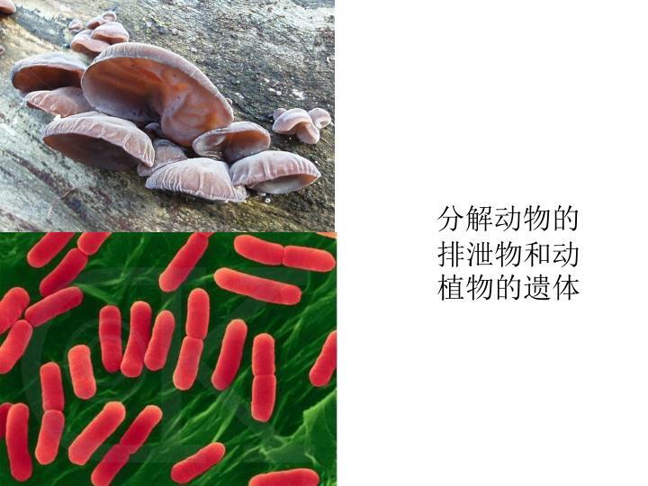 分解动物的排泄物和动植物的遗体