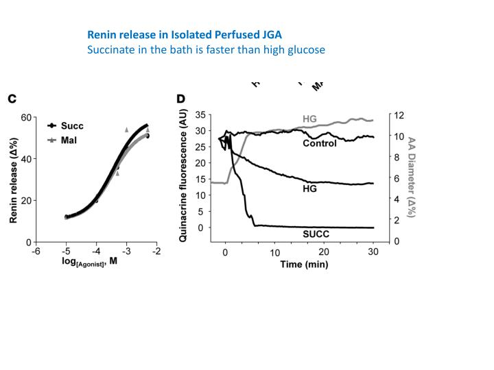 Renin release in Isolated Perfused JGA