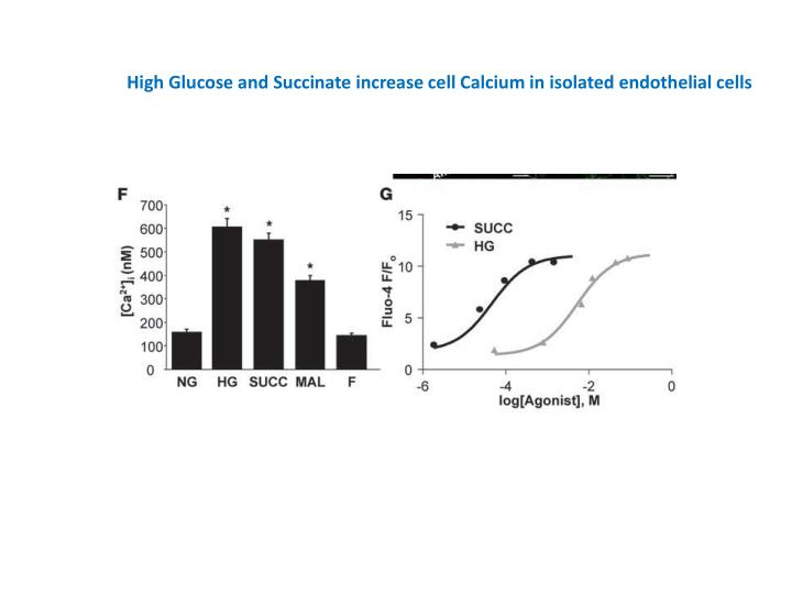 High Glucose and Succinate increase cell Calcium in isolated endothelial cells