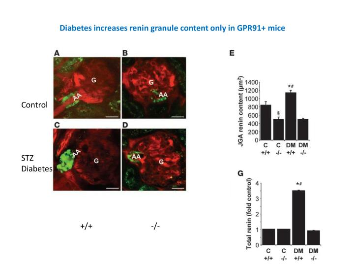 Diabetes increases renin granule content only in GPR91+ mice