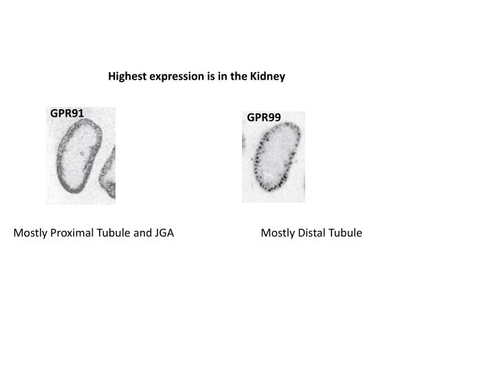 Highest expression is in the Kidney