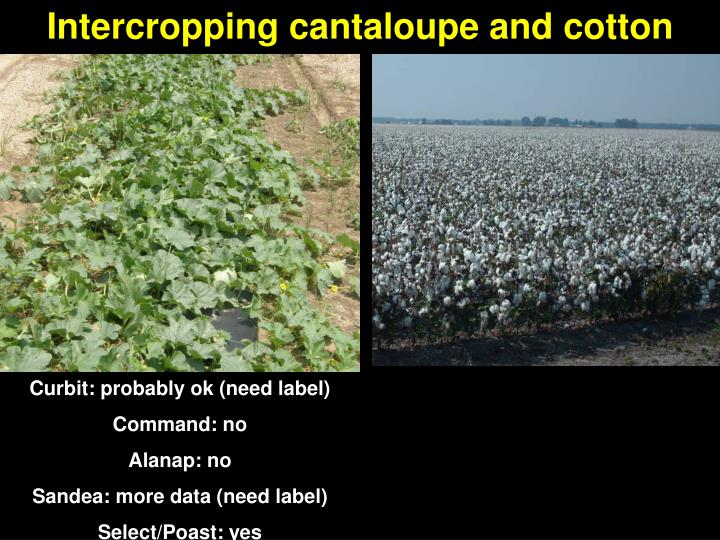 Intercropping cantaloupe and cotton