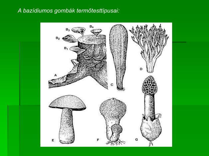 A bazídiumos gombák termőtesttípusai: