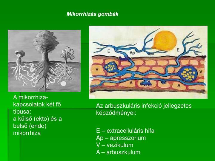 Mikorrhizás gombák