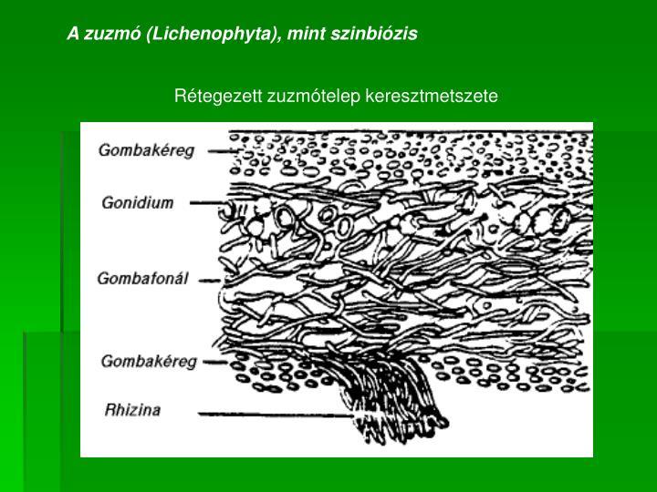 A zuzmó (Lichenophyta), mint szinbiózis