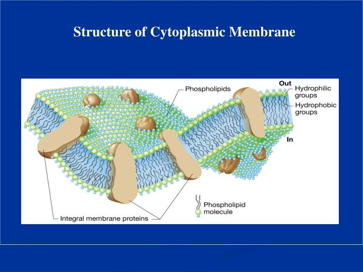 Structure of Cytoplasmic Membrane