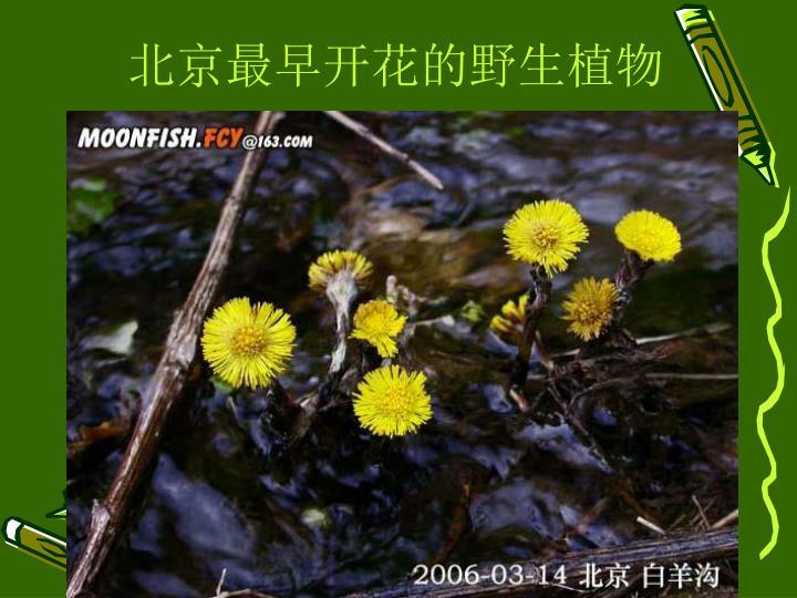 北京最早开花的野生植物