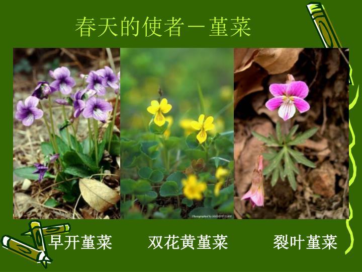 春天的使者-堇菜