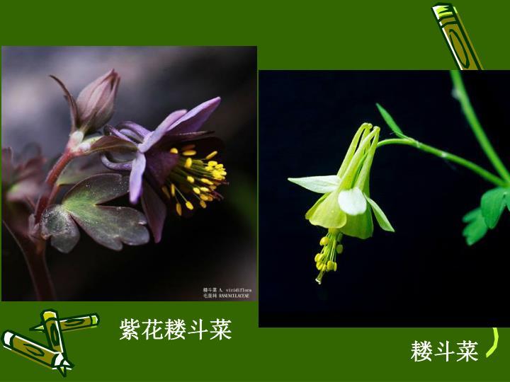 紫花耧斗菜