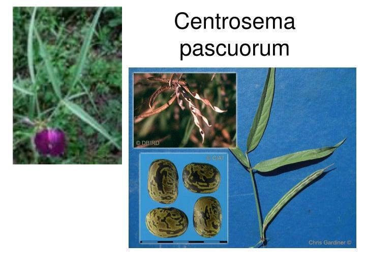 Centrosema pascuorum