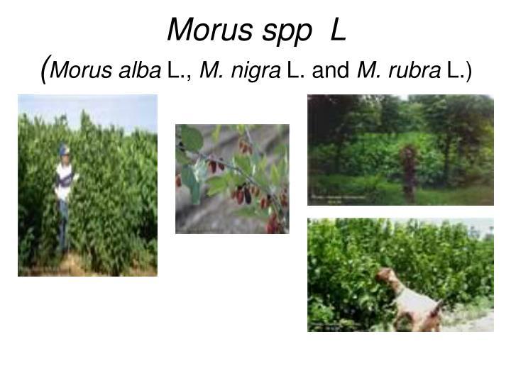 Morus spp  L