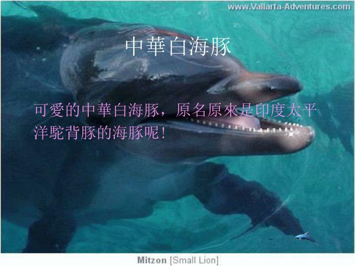 中華白海豚