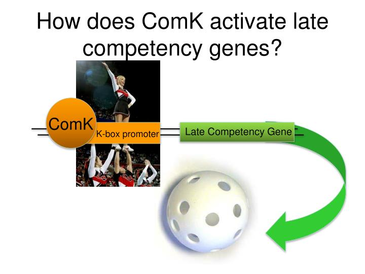 How does ComK activate late competency genes?