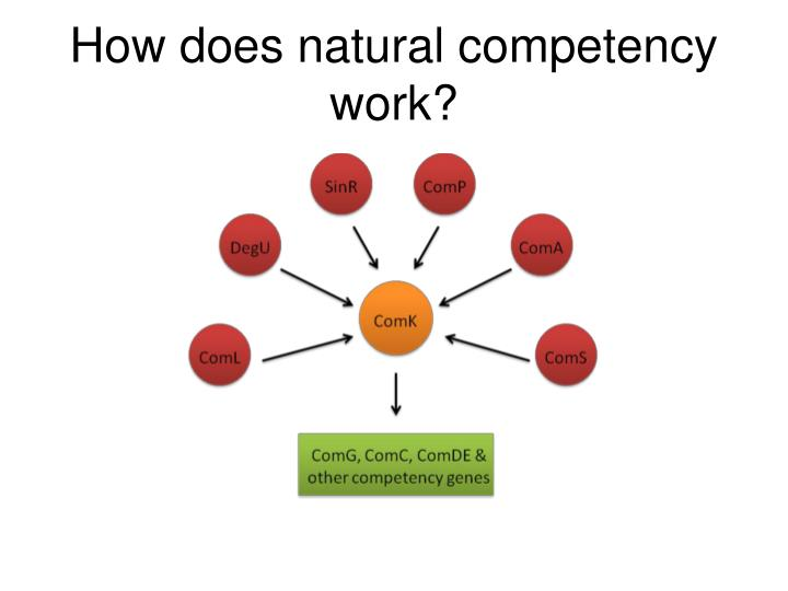 How does natural competency work?
