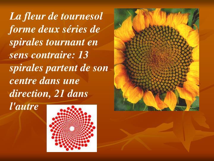 La fleur de tournesol forme deux séries de spirales tournant en sens contraire: 13 spirales partent de son centre dans une direction, 21 dans l'autre