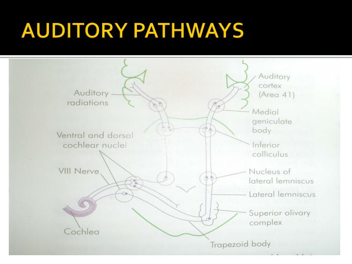 AUDITORY PATHWAYS