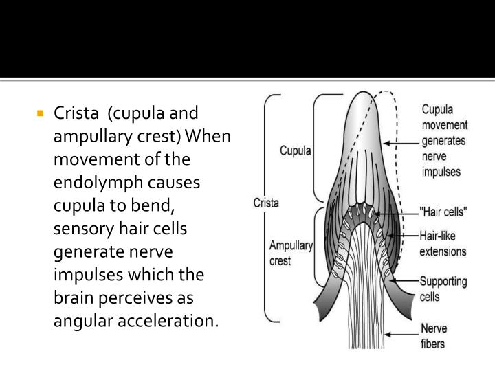 Crista  (cupula and ampullary crest) When movement of the endolymph causes cupula to bend, sensory hair cells generate nerve impulses which the brain perceives as angular acceleration.