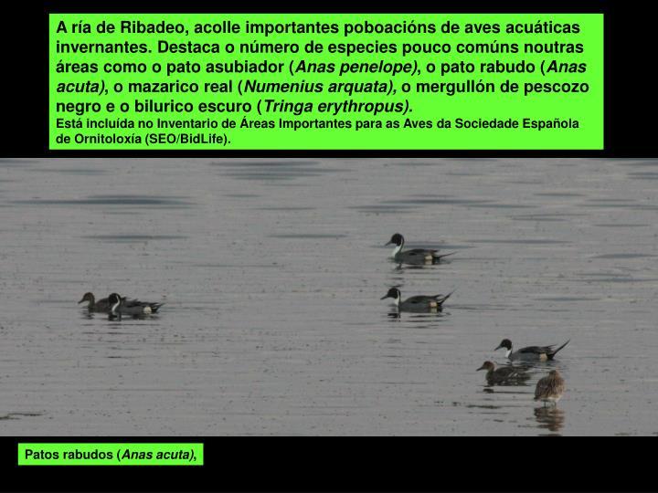 A ría de Ribadeo, acolle importantes poboacións de aves acuáticas invernantes. Destaca o número de especies pouco comúns noutras áreas como o pato asubiador (