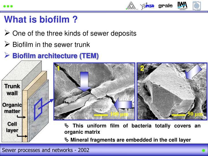 Biofilm architecture (TEM)
