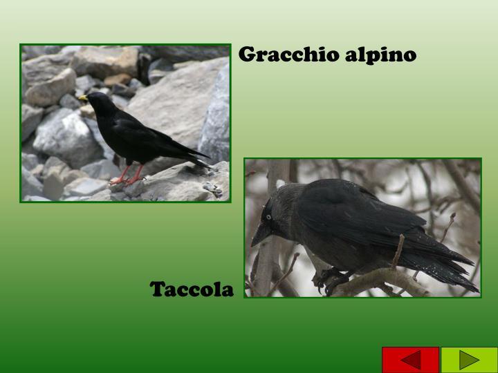 Gracchio alpino
