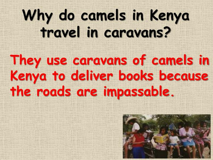 Why do camels in Kenya travel in caravans?