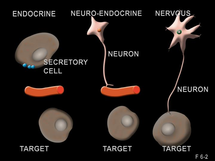NEURO-ENDOCRINE