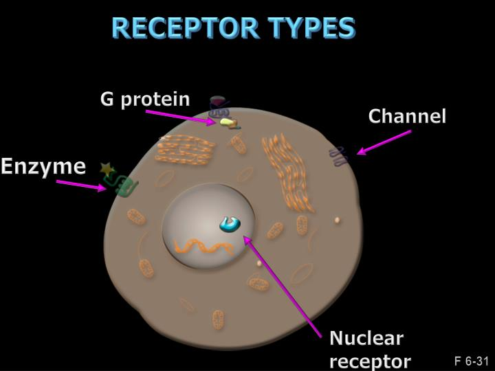 G protein