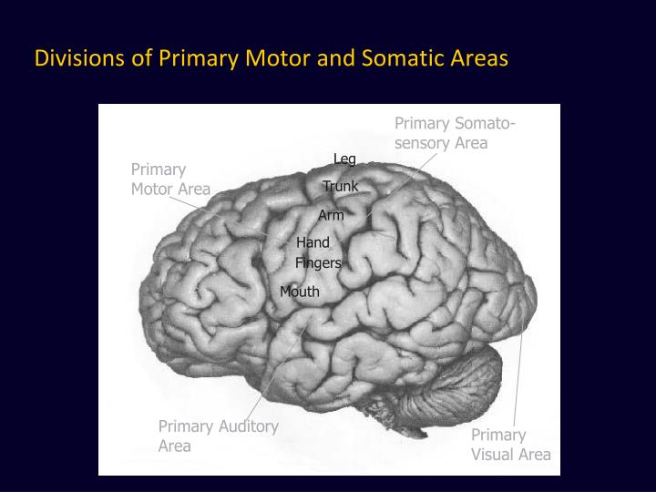 Divisions of Primary Motor and Somatic Areas
