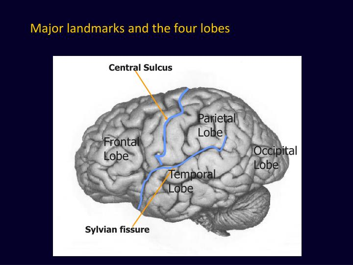 Major landmarks and the four lobes