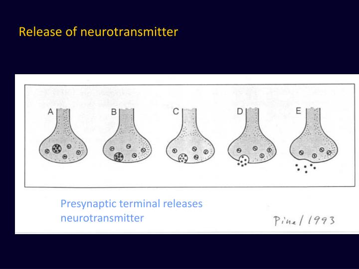 Release of neurotransmitter