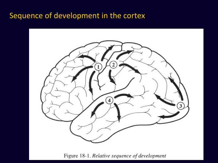 Sequence of development in the cortex