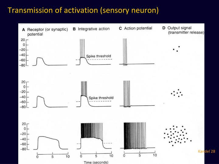 Transmission of activation (sensory neuron)