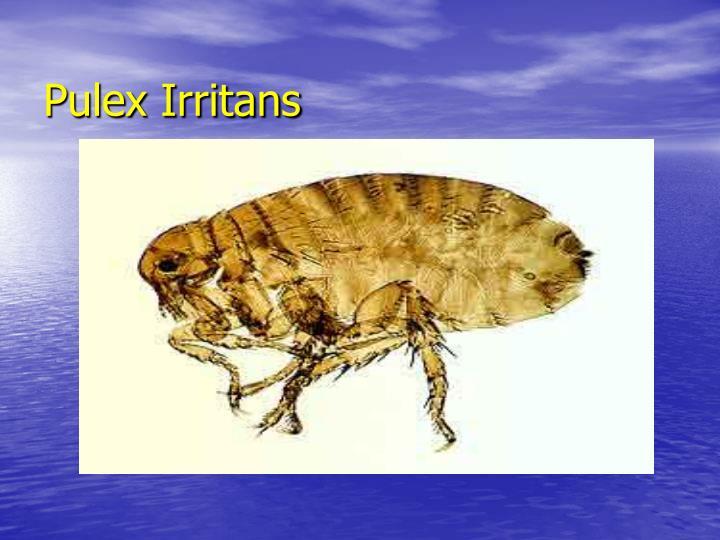 Pulex Irritans