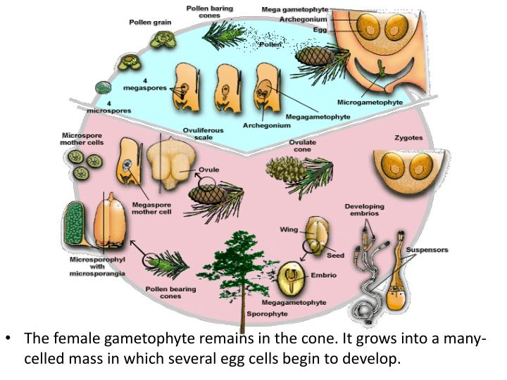 The female gametophyte remains in the cone. It grows into a many-celled mass in which several egg cells begin to develop.