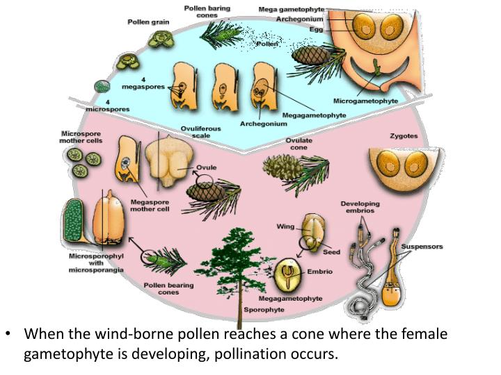 When the wind-borne pollen reaches a cone where the female gametophyte is developing, pollination occurs.