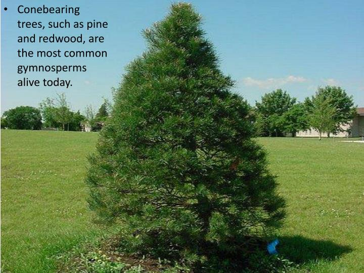Conebearing trees, such as pine and redwood, are the most common gymnosperms alive today.