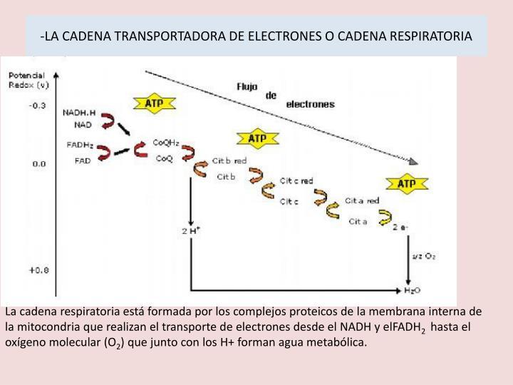-LA CADENA TRANSPORTADORA DE ELECTRONES O CADENA RESPIRATORIA